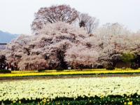 実相時の桜